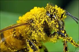 Honeybee and pollen
