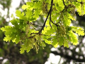 Bashkir oak