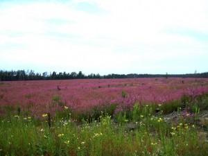 Flowers of Bashkir steppe